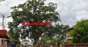 caïcéldrat-arbre-Koulikoro