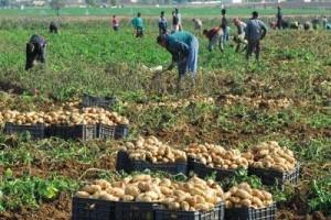 agriculture-pomme-terre-paysan-algerie