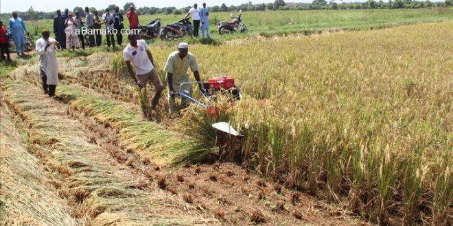 Cercle de Niono : Les paysans face aux pressions des djihadistes et à la mauvaise campagne agricole